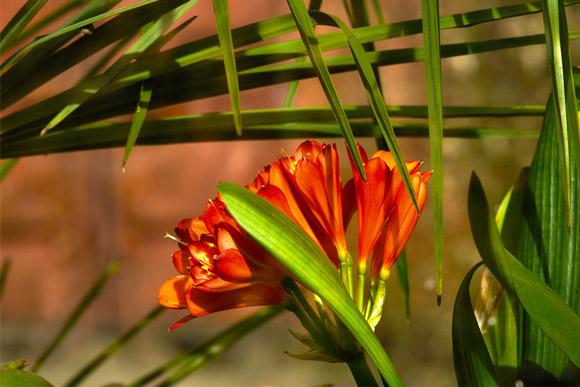 Clivia-miniata-von-MabelAmber-WEB