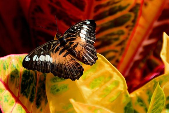 Codiaeum-variegatum---Schmetterling---Bild-von-Jondolar-Schnurr-auf-PixabayWEB