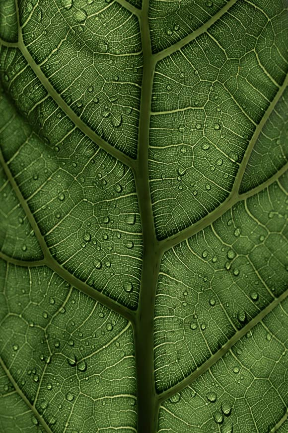 Ficus-lyrata---Geigenfeige.by-Photo-by-Clay-Banks-