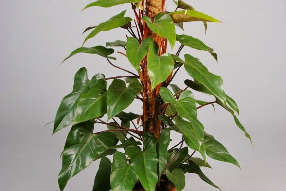 baumfreund-philodendron-red-emerald_PHIL-REDE-3610_1