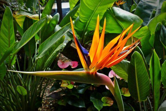 bird-of-paradise-flower-1376199_1920