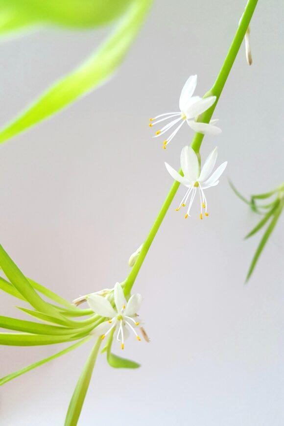 chlorophytum-comosum-4283976_1920