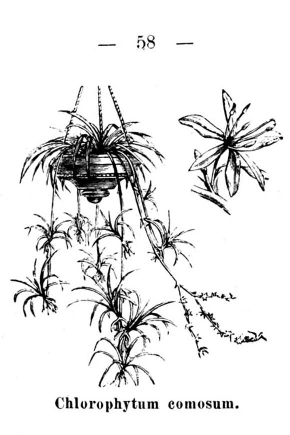 chlorophytum-comosum-dammer_zimmerblattpflanzenWEB