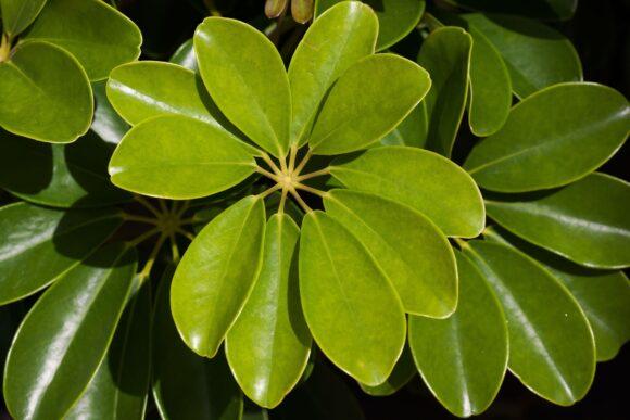 schefflera-heptaphylla-572501_1920