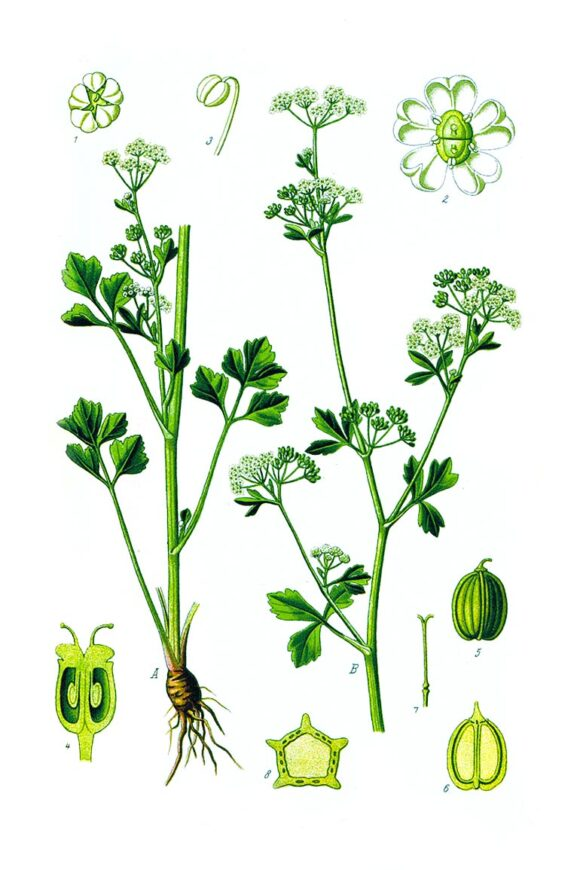 Prof.-Dr.-Otto-Wilhelm-Thomé-Flora-von-Deutschland,-Österreich-und-der-Schweiz-1885,-Gera,-Germany-WEB